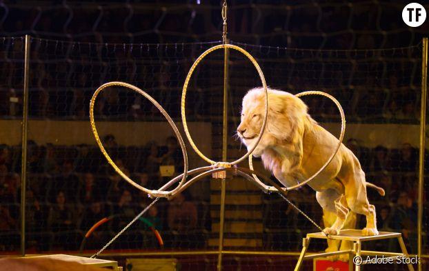 Lion dans un cirque