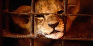 Adopter un lionceau : la tendance choquante qui monte en France