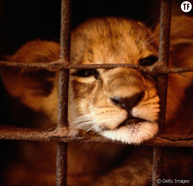 Adopter un lionceau : la tendance absurde et choquante qui monte en France