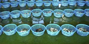 Farines animales : de la volaille et du porc pour nourrir les poissons