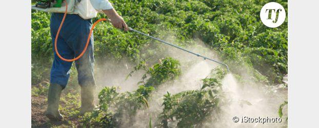 Des pesticides cancérigènes dans les cheveux d'ouvriers viticoles
