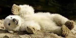 Knut: le décès de l'ours star suscite la polémique