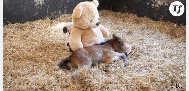 Un poney prend un nounours en peluche pour sa maman - Vidéo