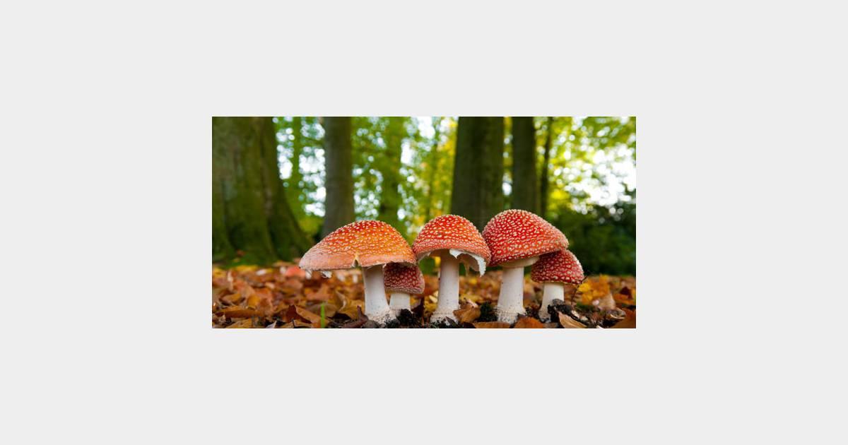 Comment reconna tre un champignon comestible - Laurier comestible comment reconnaitre ...