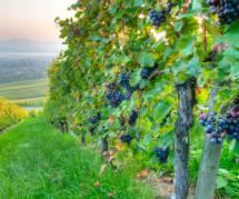 Vin bio : un viticulteur devant la justice pour refus d'utilisation de pesticides