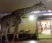 YouTube : une girafe se balade dans un restaurant (Vidéo)