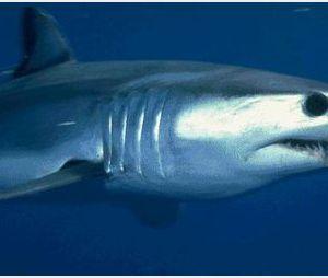 Un requin fait une peur bleue aux baigneurs du bassin d'Arcachon