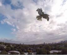 Quand un faucon attaque et casse un drone - en vidéo