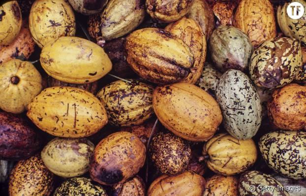 Des cosses de cacao, dont viennent les épicatéchines qu'on trouve dans le chocolat