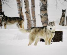 Boom des abandons de huskies chez les fans de Game of Thrones