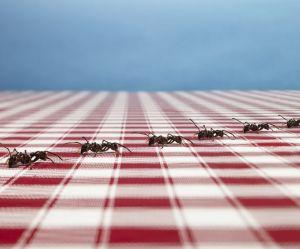 L'incroyable astuce pour éloigner les fourmis sans les tuer