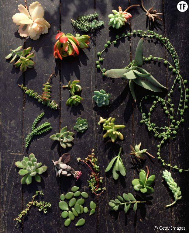 Exemple de boutures de succulentes
