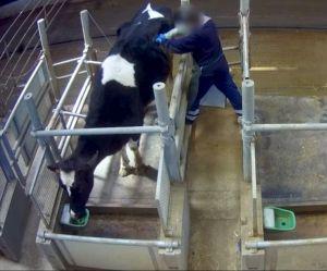 """Les images des """"vaches à hublot"""" horrifient"""