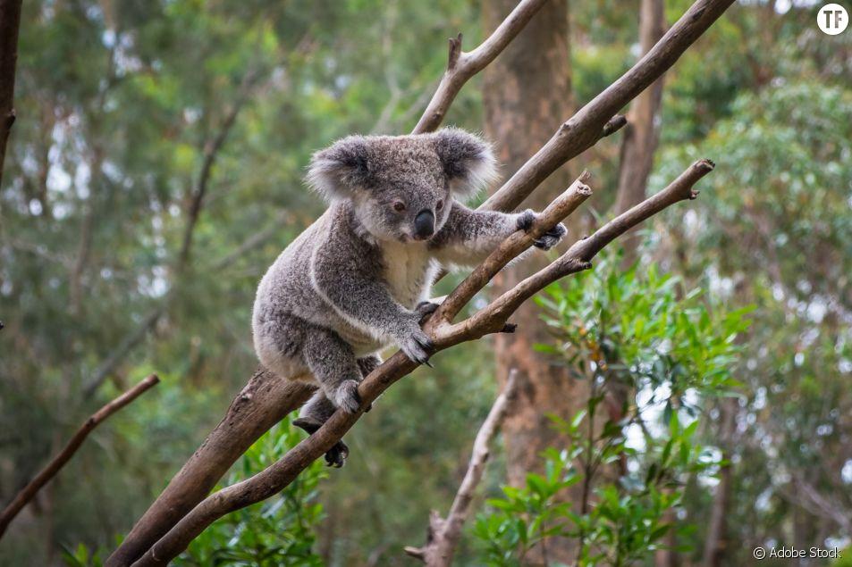 En Australie, les koalas disparaissent les uns après les autres