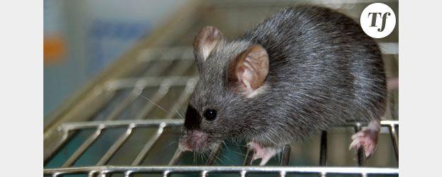 Des scientifiques font rajeunir des souris