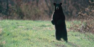 Un ours filmé dans les Pyrénées - Vidéo