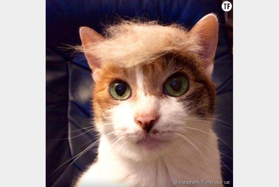 """Le compte Instagram """"Trump your cat"""" et ses portraits de chats coiffés façon Donald Trump."""