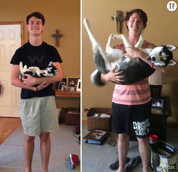 Ce husky a immensément grandi.