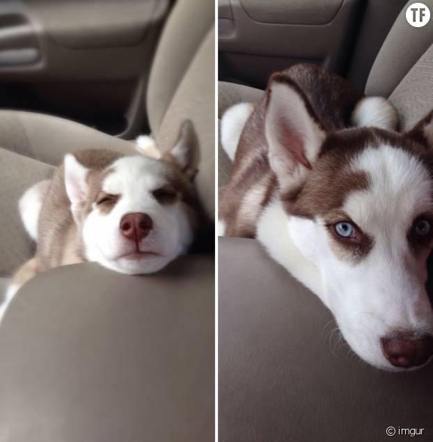 Ce chien est aussi beau chiot qu'adulte.