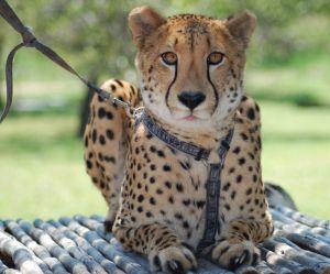 """La """"tendance"""" des guépards de compagnie pourrait faire disparaître l'espèce"""