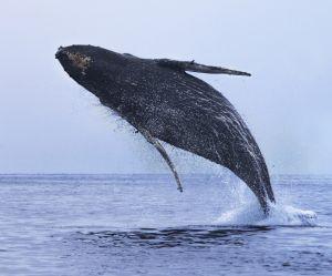 Pourquoi les baleines sautent-elles ? Les scientifiques ont enfin la réponse