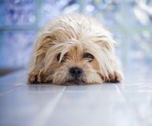 Vous trouvez que votre chien a l'air coupable après une bêtise ? C'est faux