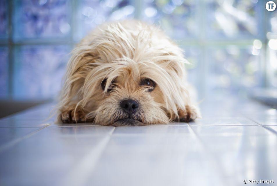 Après une bêtise, votre chien ne se sent pas coupable