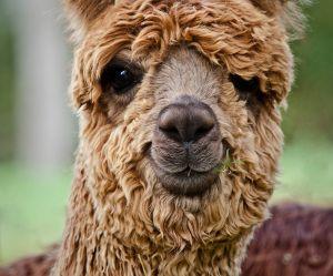 Vous pouvez maintenant louer des lamas en costume pour votre mariage