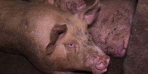 Cochons maltraités : des associations appellent à boycotter le jambon de Parme