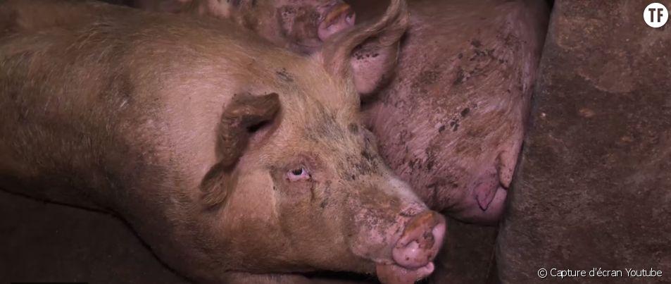 Cochons maltraités : une association appelle à boycotter le jambon de Parme