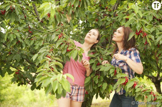 Juin est le mois des cerises, à manger nature ou en clafoutis