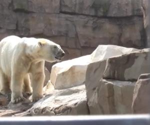 L'ours polaire en captivité à Marineland au coeur de la polémique