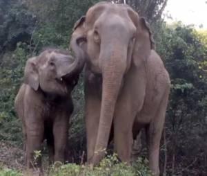 Les retrouvailles entre ce bébé éléphant et sa maman vont vous tirer une larmichette