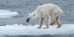 La photo d'un ours polaire squelettique alerte sur le réchauffement climatique