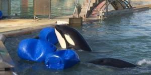 """Mort d'une orque à Marineland : """"Si on ne fait rien, ils vont tous mourir les uns après les autres"""""""