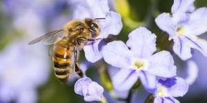 L'apithérapie : faut-il se faire piquer par des abeilles pour être en meilleure santé ?