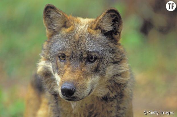 Le loup rouge : 270 individus restants au monde