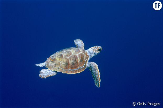 Les tortues à écailles : une espèce très en danger à cause du braconnage