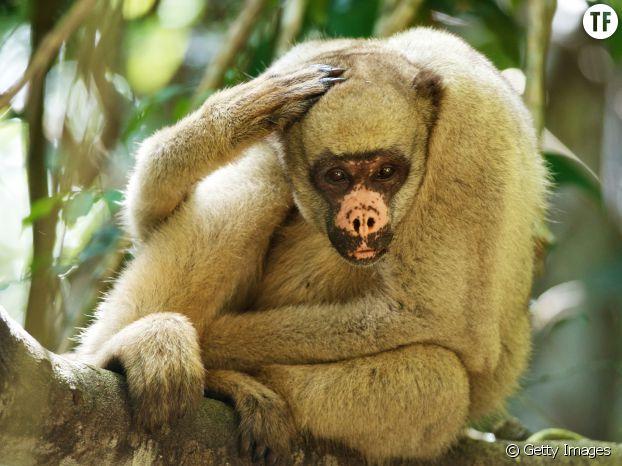 Le muriqui du Nord, un grand singe menacé par la déforestation en Amérique du Sud