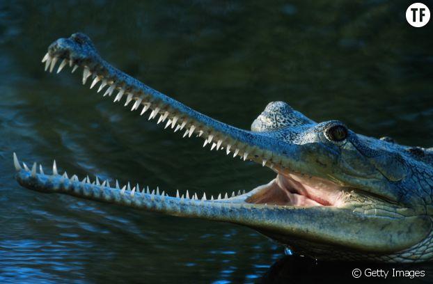 Le gavial du Gange : un extraordinaire crocodile risque de s'éteindre