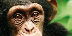 Offrez à votre famille un bon moment de cinéma le 12 février, pour l'avant-première de « Chimpanzés » !