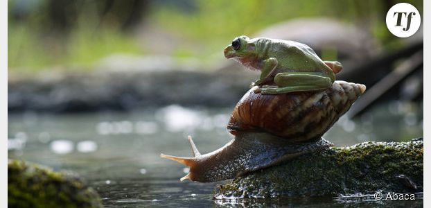 Espèces disparues : clonage d'une grenouille à la façon de Dolly