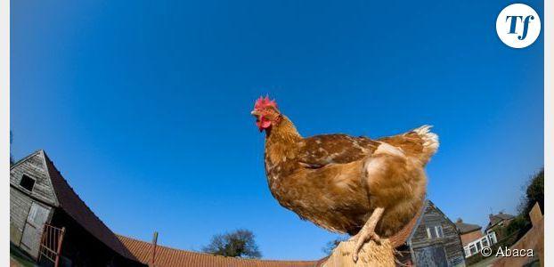 Le coq perd son pénis pour mieux copuler avec la poule