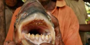 Pacu : que fait un poisson mangeur de testicules dans la Seine ?