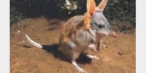 Pâques: Le bilby plus tendance que le lapin en chocolat...en Australie