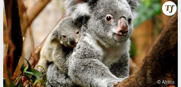 Réchauffement climatique : les koalas en danger