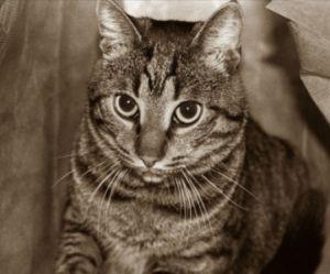Le chat sait reconnaître la voix de son maître mais il préfère l'ignorer