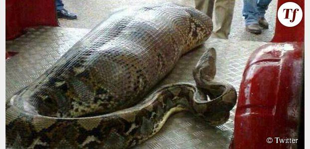 Un python avale un homme ivre : la photo est-elle un fake ?