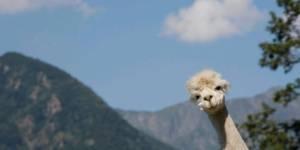 Facebook : pourquoi vos amis mettent des lamas en photo de profil ?