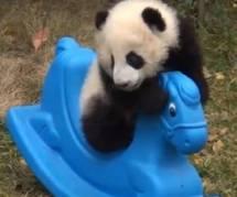 YouTube : une vidéo adorable avec un panda sur un cheval à bascule